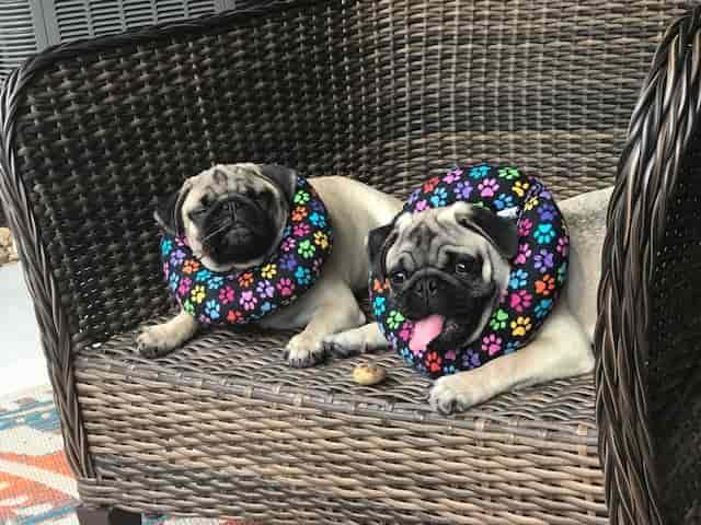 Pugs summer