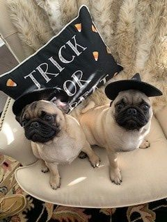 Right at Home Woodstock Therapy Dogs in Training Thelma and Louise,dressed in their 2018 Halloween Costumes