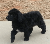 Myla, Portuguese water dog and pet therapy dog , taking a walk outside